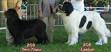 Newfoundland dog and Landseer